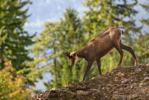 пятра- горная коза