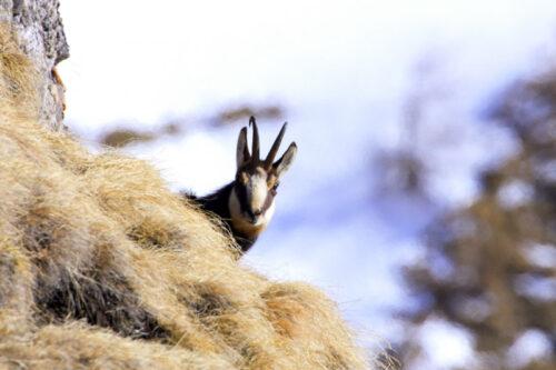 п'ятра -дикая коза