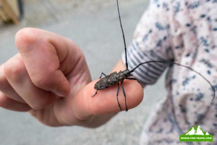 экзотические насекомые жук