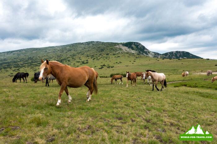 Болгария - горы Рила стадо лошадей на полонине