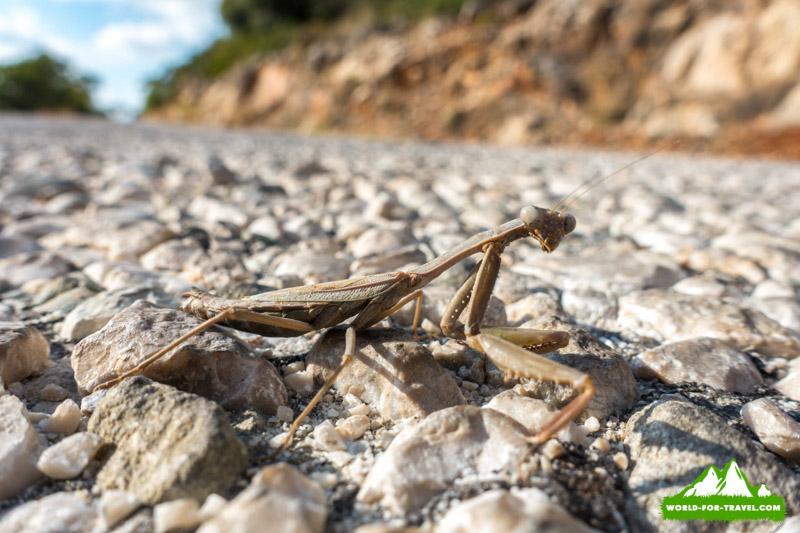 Ликийская тропа (Lycian Way) богомол, экзотические насекомые Турции